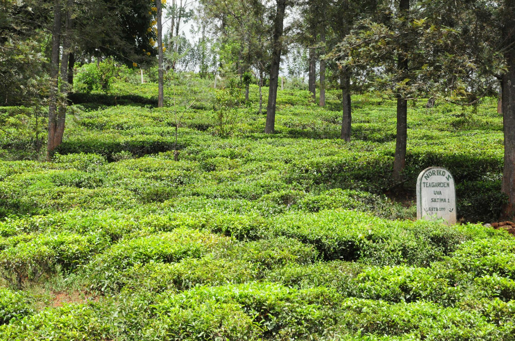 Noriko's Tea Garden画像