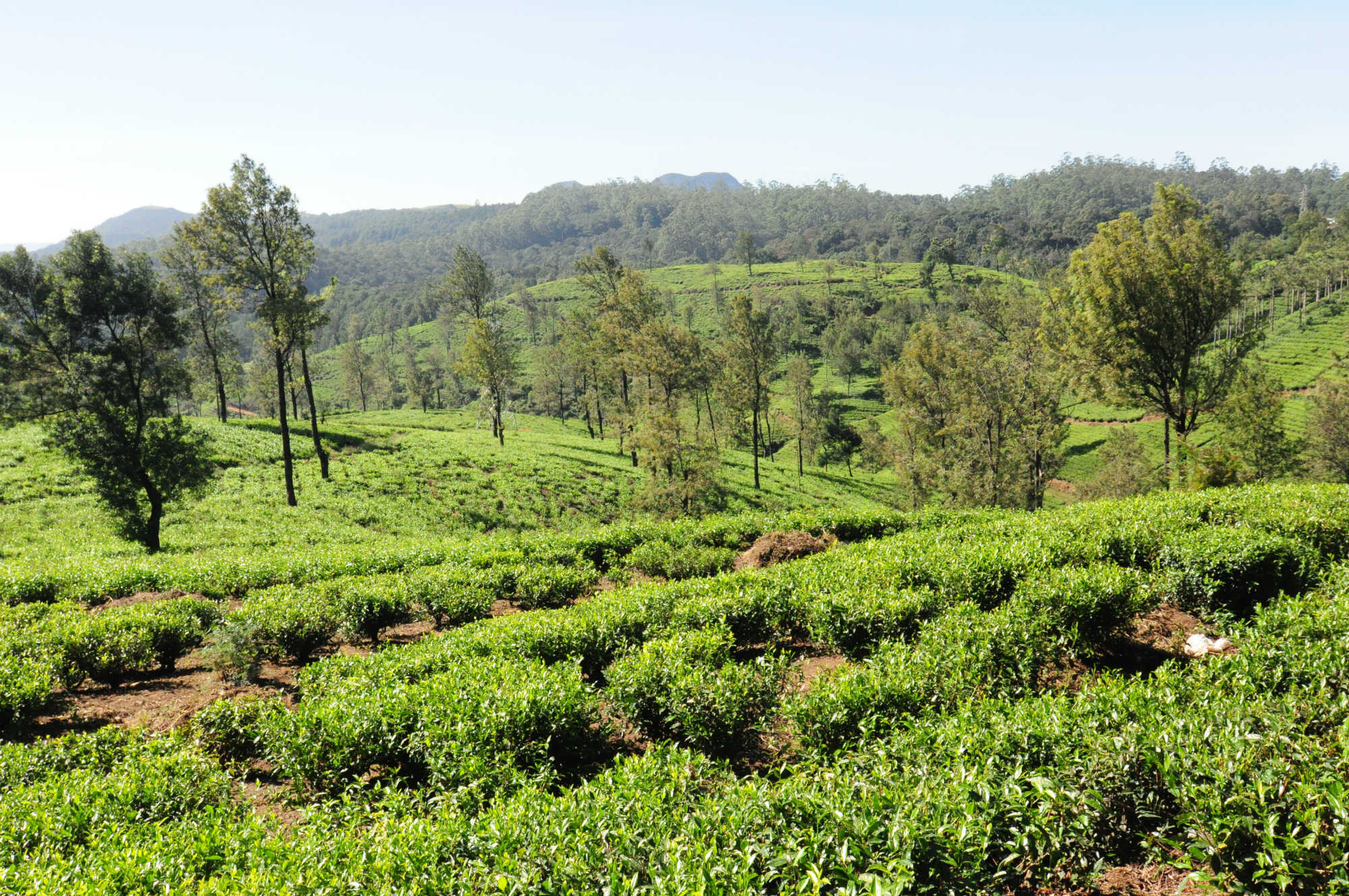 Pedro Tea Estate 画像