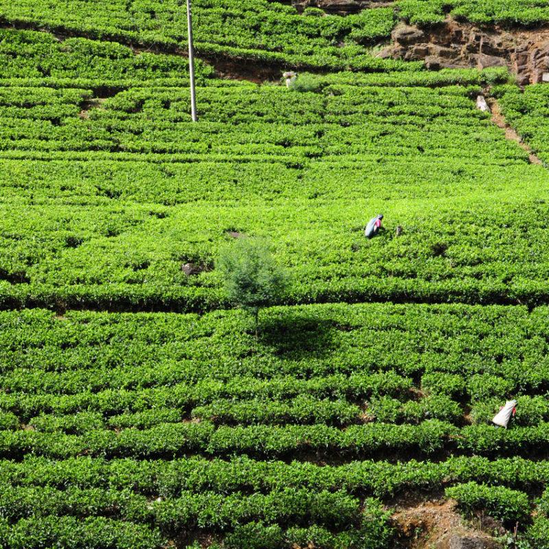 スリランカ紅茶畑